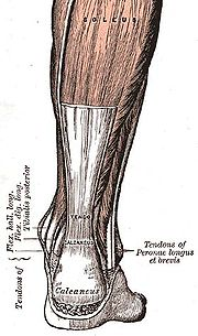 achilles tendon diagram anatomy