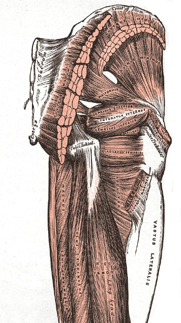 lateral rotators anatomy hip extensors